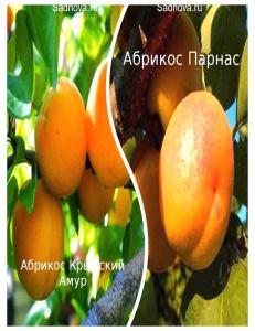 Комплект из 2-х сортов в Евпатории - Абрикос Парнас + Абрикос Крымский Амур