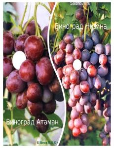 Комплект из 2-х сортов в Евпатории - Виноград Атаман + Виноград Низина