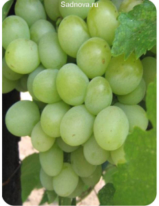 Виноград Александрит в Евпатории