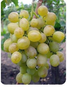 Виноград Восторг в Евпатории